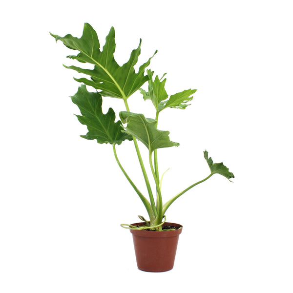 Lacy Leaf Philodendron (Selloum or Bipinnatifidum) House Plant