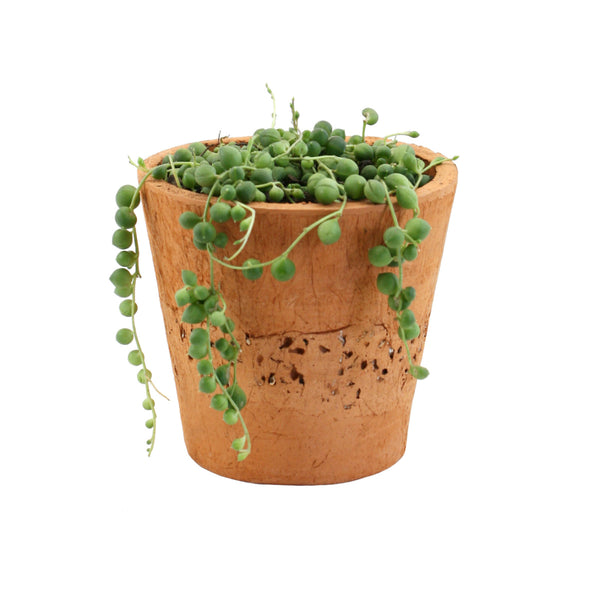 String of Pearls in Terracotta