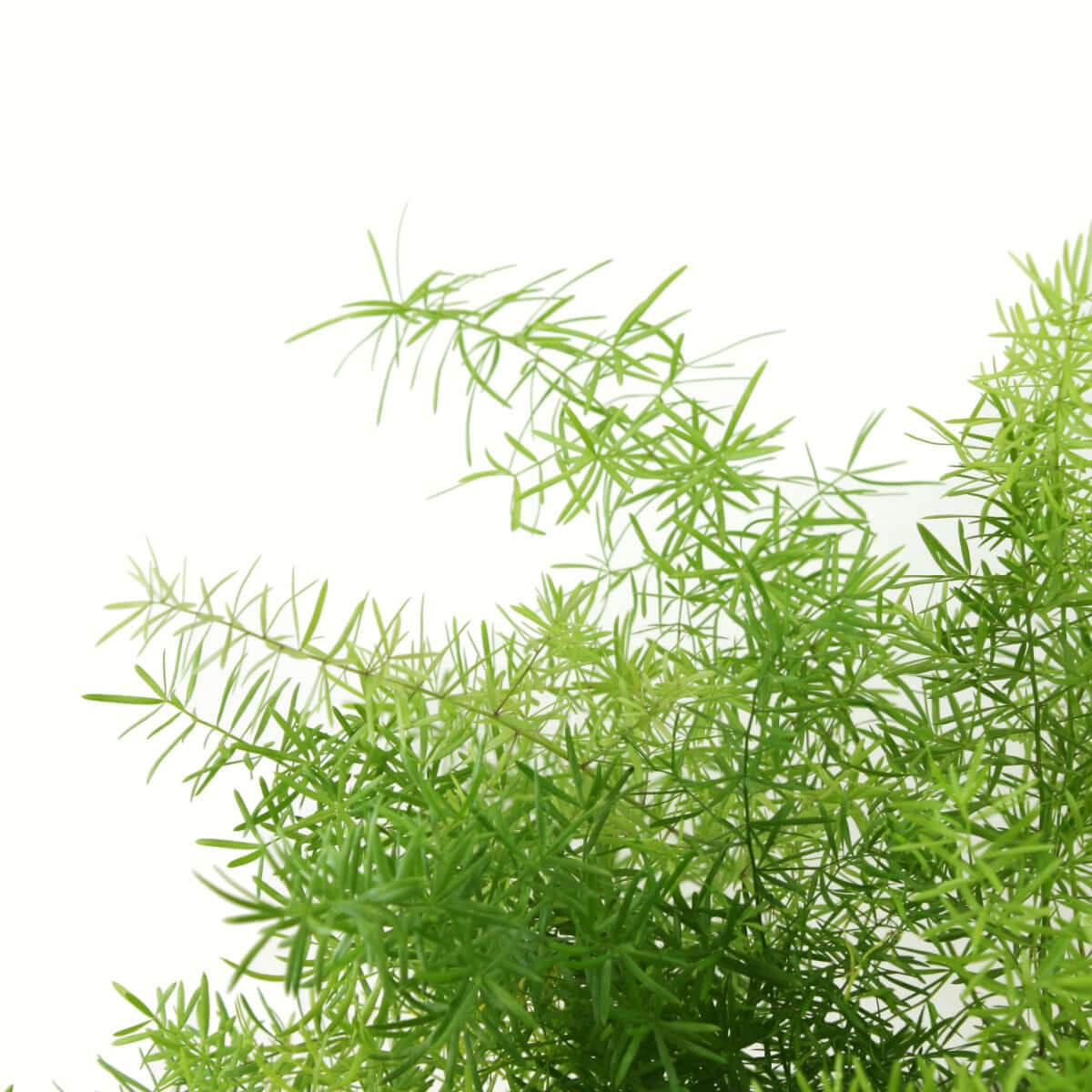 Picture of Live Asparagus Fern Sprengeri aka Asparagus densiflorus 'Sprengeri' Foliage Hanging Plant Fit  1 Gallon Pot