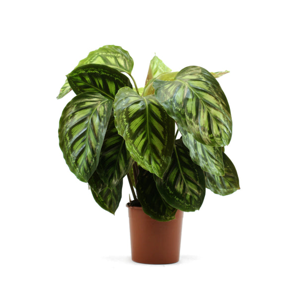 Calathea Plants Care Instructions,Small Simple Landscaping Ideas For Front Of House
