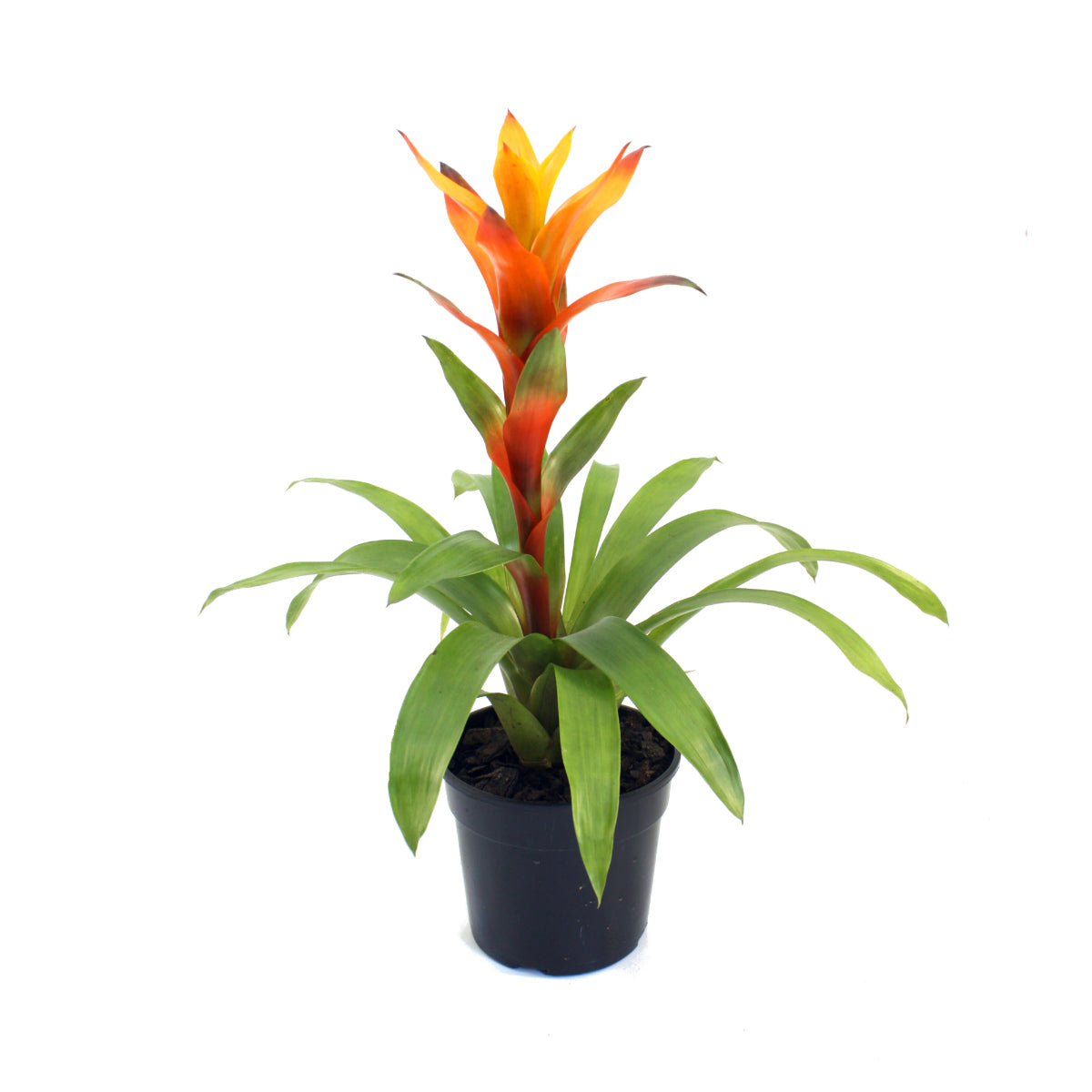 Guzmania Flaming Orange