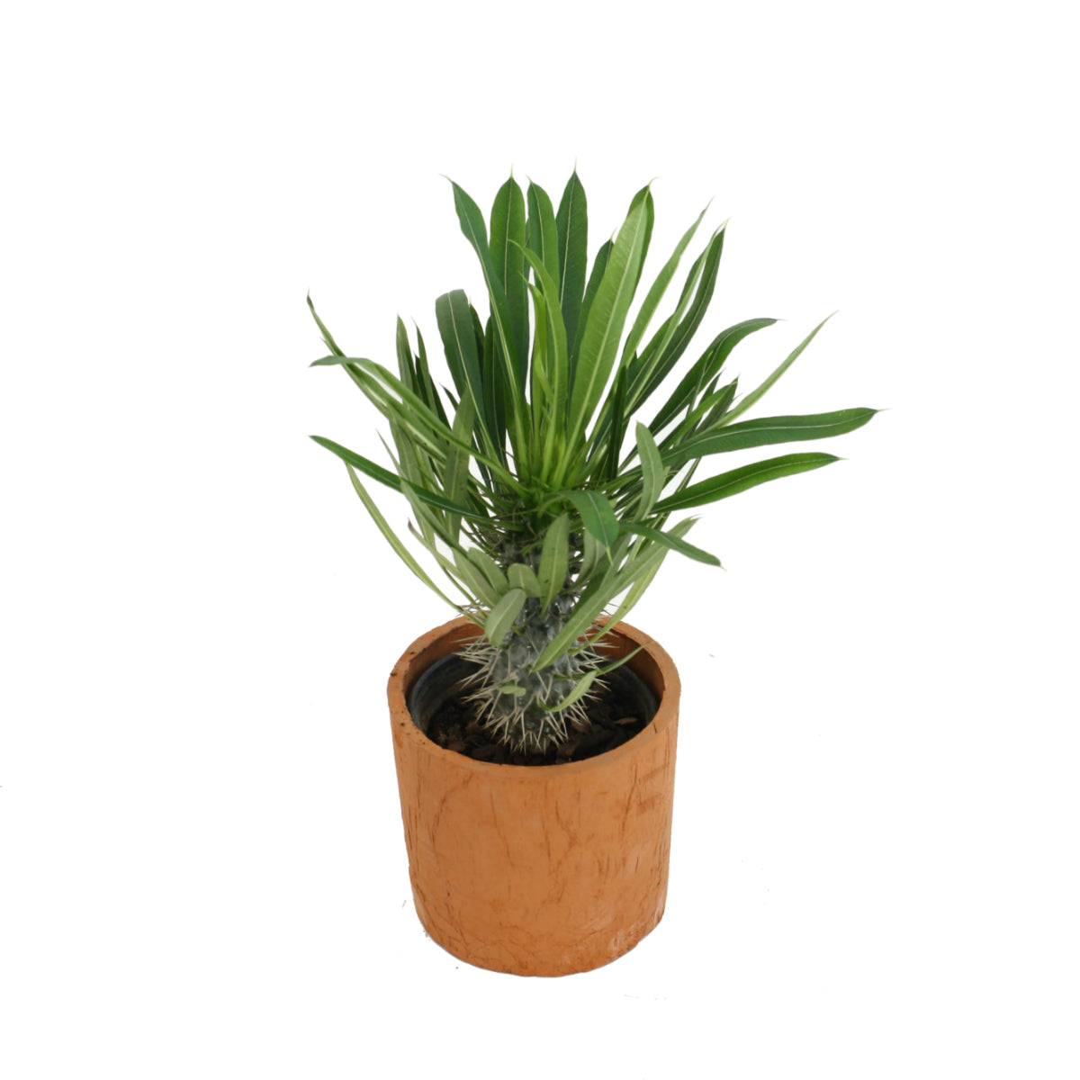 Pachypodium in Terracotta
