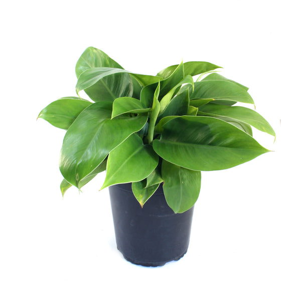 Philodendron - Imperial Green