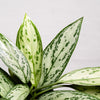 Chinese Evergreen - Silver Queen