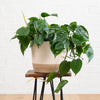 Heart Leaf Philodendron - Hanging Basket
