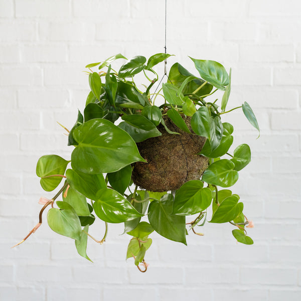 Heart Leaf Philodendron Mossball