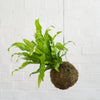 Birds Nest Fern Mossball