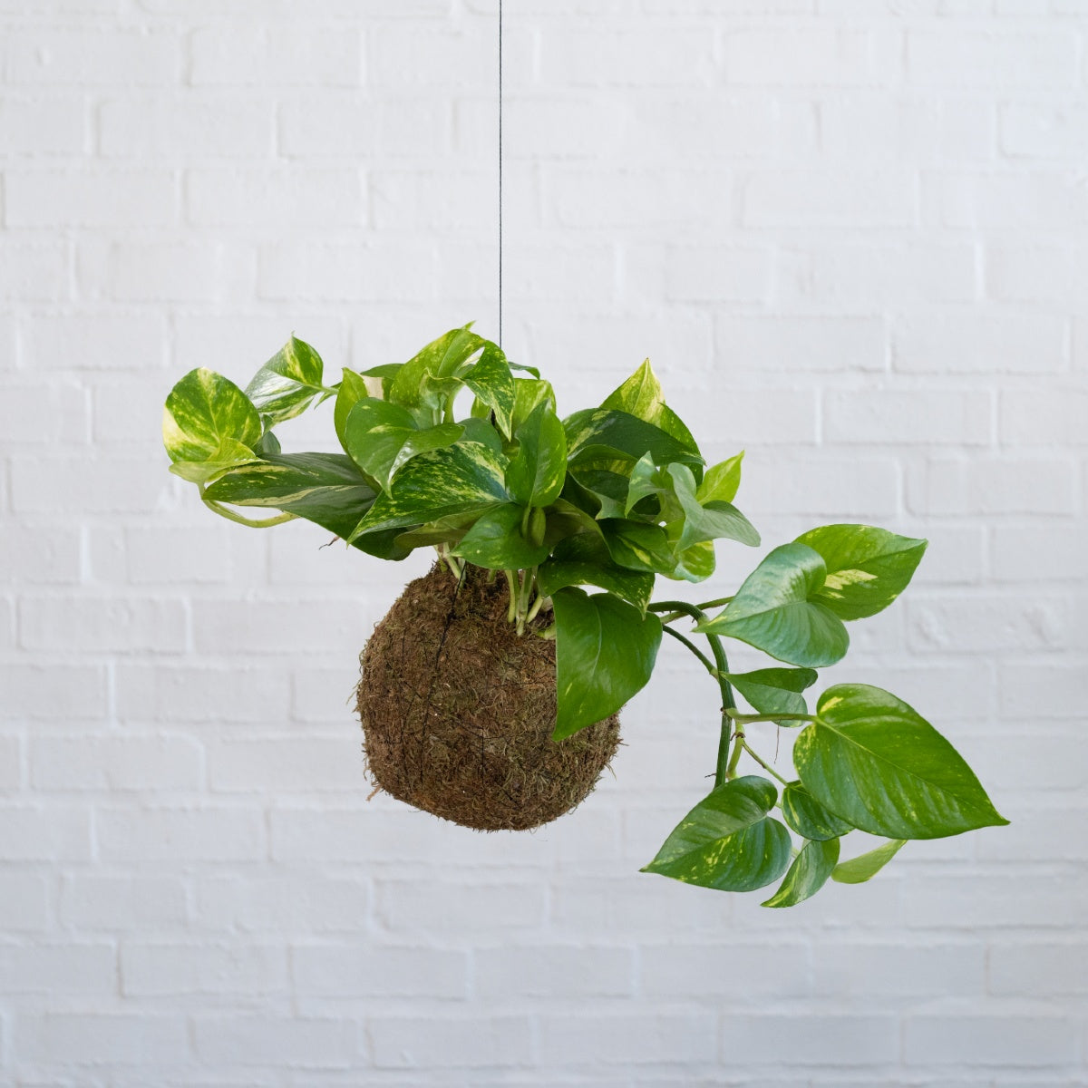 Golden Pothos Mossball