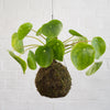 Chinese Money Plant Mossball