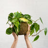 Philodendron Brasil Mossball