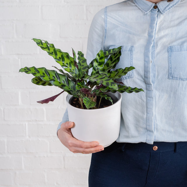 Indoor Plants - Care Easy, Waterwise, Low Light options