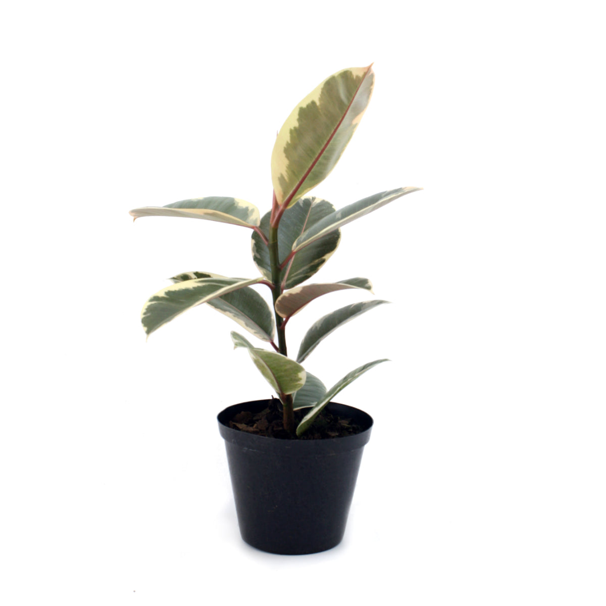 Rubber tree Tineke