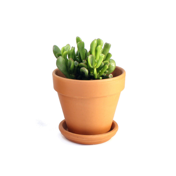Succulent in Terracotta