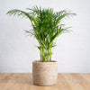 Parlor Palm - Large