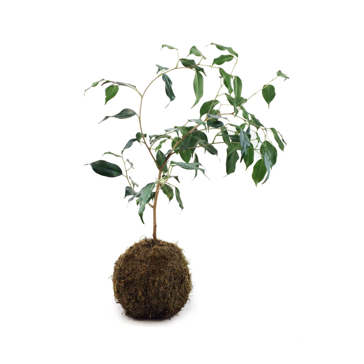 Weeping Fig Mossball