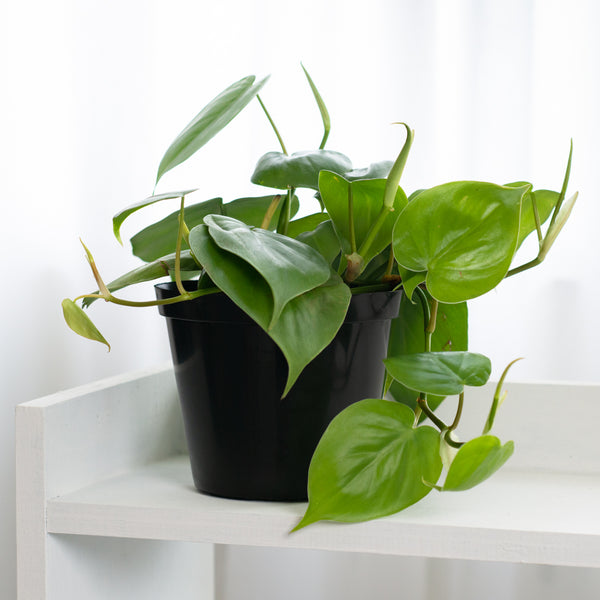 Heart Leaf Philodendron - 15cm