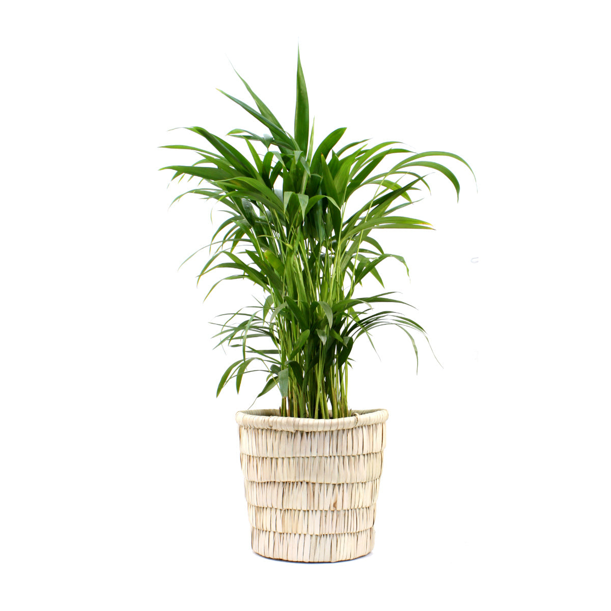 Areca Palm (Dypsis lutescens) in Katondo basket - Bamboo Palm