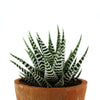 Close up of Zebra Plant (Haworthia) House Plant in Terracotta Pot