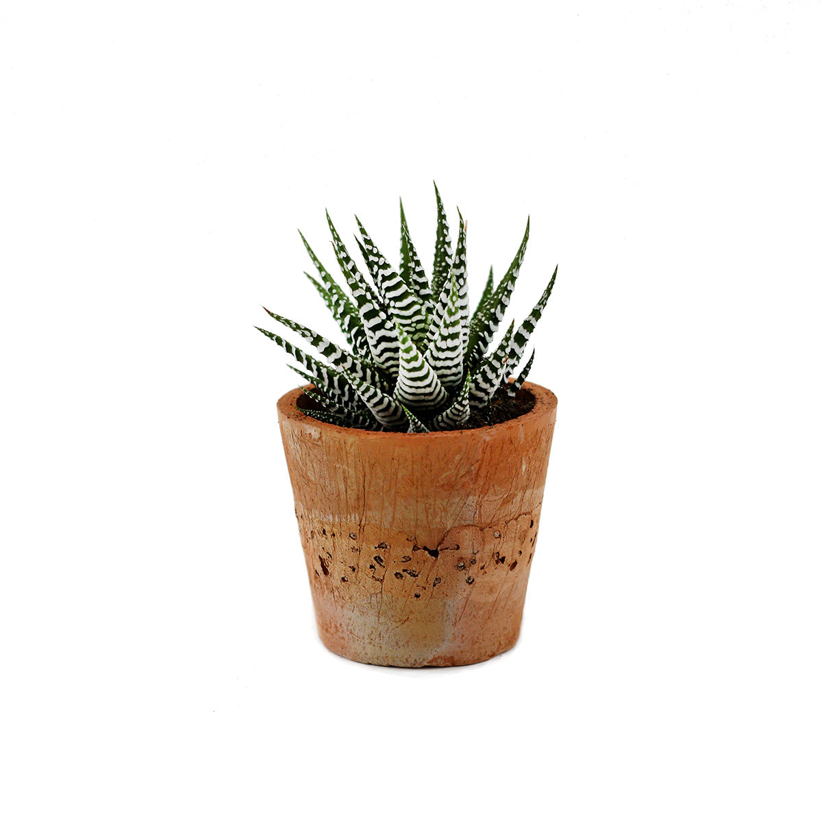 Zebra Plant (Haworthia) House Plant in Terracotta Pot