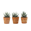 Group of Zebra Plant (Haworthia) House Plants in Terracotta Pot