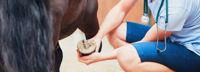 Laminitis in Horses: What Every Horse Owner Needs to Know, Part One