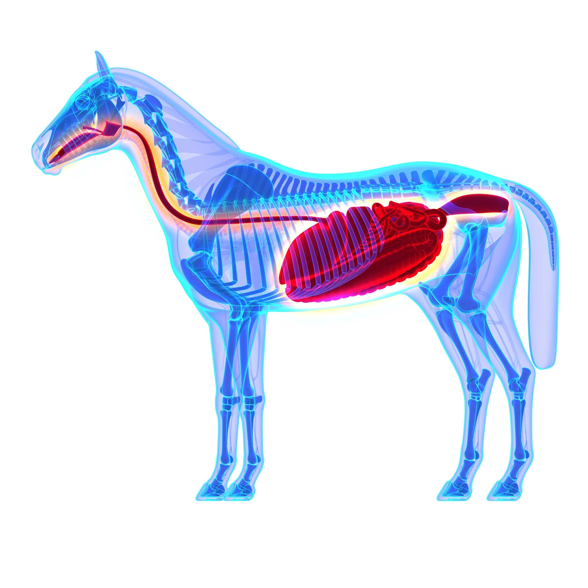 Understanding how the equine digestive system works to help
