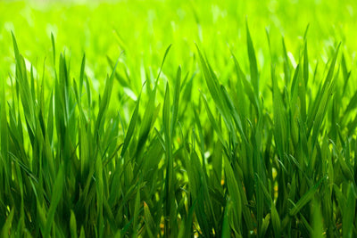 Beware of sugar rich grass this Spring