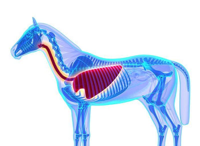 The importance of the horses respiratory system in health and performance - part 1