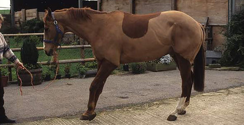 Laminitis Part 2 - treatment and management