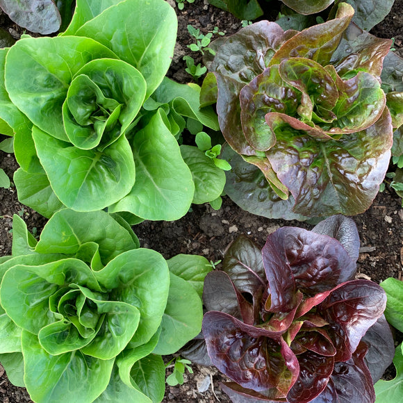 Little Gem Lettuce - Organic