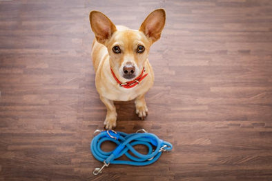 Strap, 4 Easy Steps to Get Your Dog Listening Again
