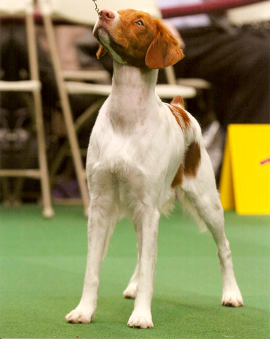 Westminster Kennel Club Brittany Biddy