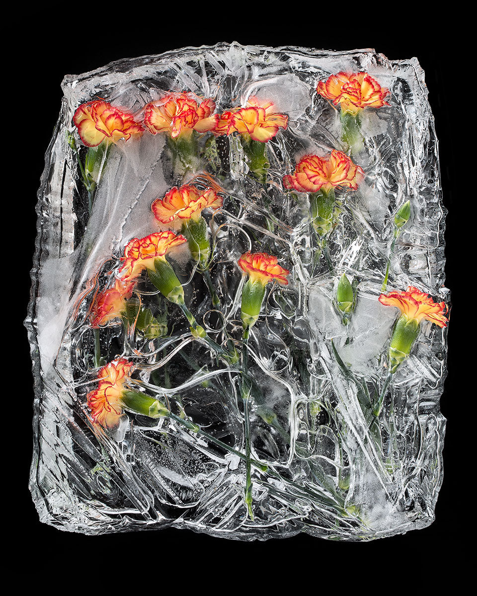 Frozen Carnations