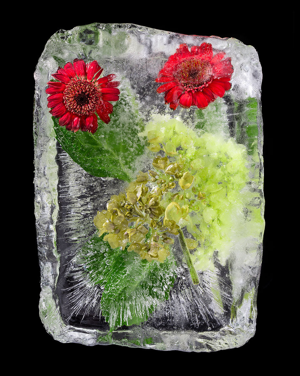 Frozen Red Gerber Daisies