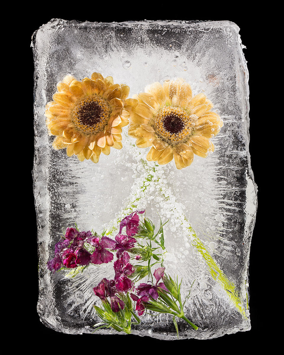 Frozen Yellow Gerber Daisies