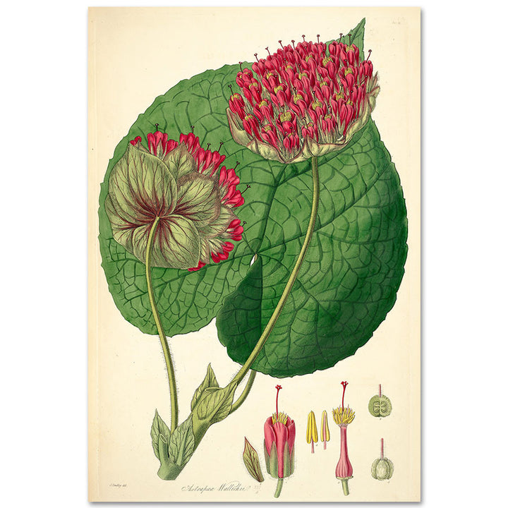 Dombeya wallichii as Astrapaea wallichii