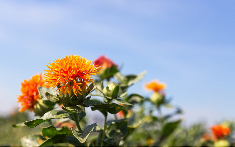 getting to know organic safflower tea