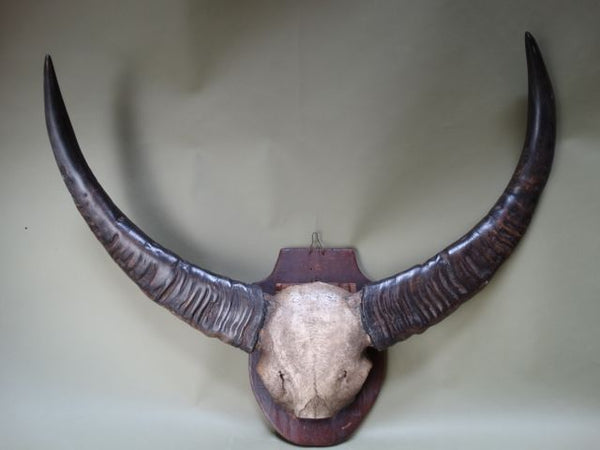 Water Buffalo Horns