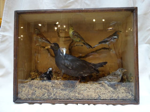 Victorian Taxidermy Box of Birds