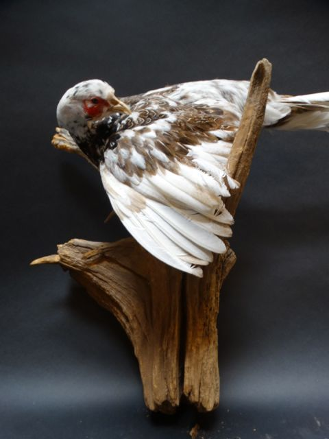 Vintage Taxidermy: Winter Pheasant
