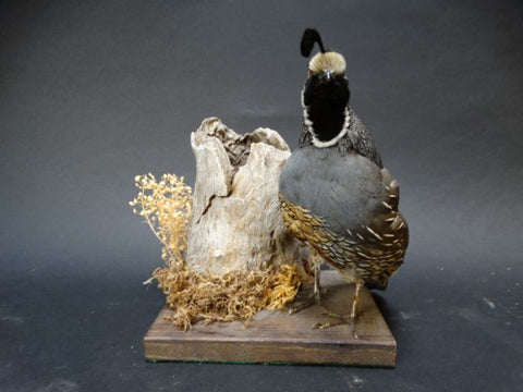 Vintage Taxidermy: California Quail