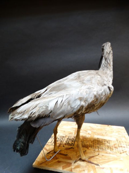 Vintage Taxidermy: Ibis