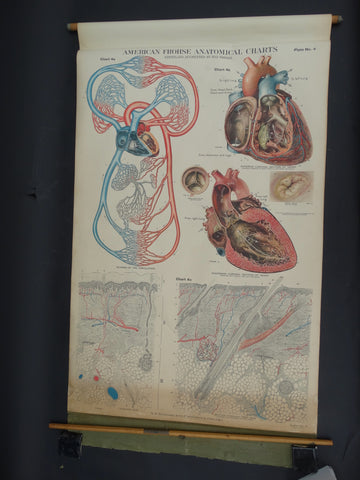 Amer-Frohse Vintage Anatomical Chart, 1918