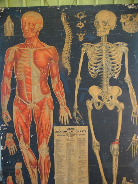 Cram Anatomical Charts