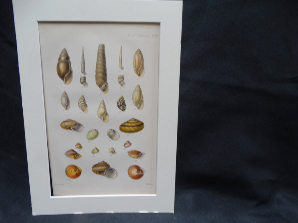 Audubon Society Print More Marvelous Molluscs