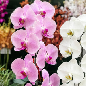 How to care for Phalaenopsis Plants