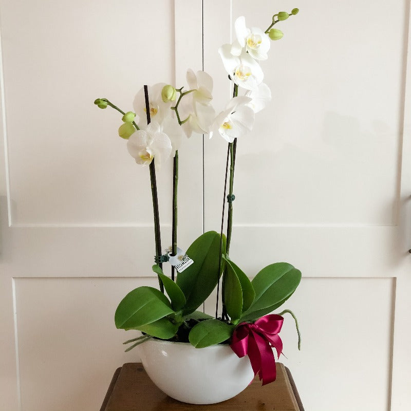 Phalaenopsis Orchid Potted Plant in a Ceramic Pot