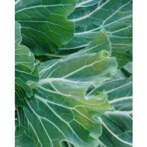 Couve Tronchuda / Portugese Cabbage / Collard / Kale - Boondie Seeds