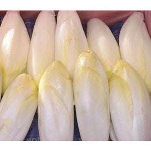 CHICORY 'Witloof' / Belgian Endive - Boondie Seeds