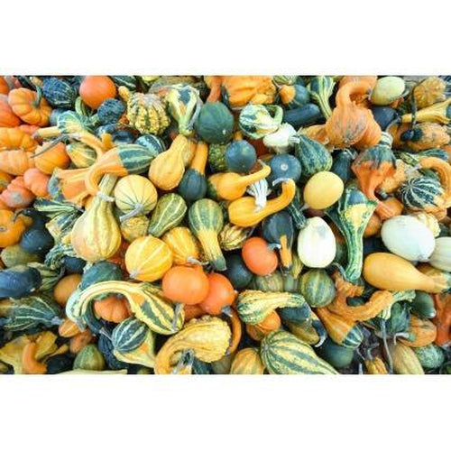 GOURD Mixed - Boondie Seeds